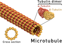 Microtubule_structure[1]